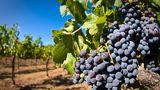 Урожай винограда во Молдове во нынешнем году получи 09% больше