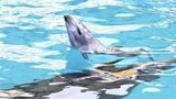 Одесские зоозащитники негодуют из-за рождения дельфиненка во время шоу