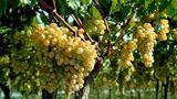 США помогут Молдове увеличить урожай столового винограда в 4 раза