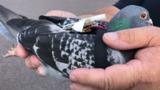 В Британии голуби начали собирать климатические данные