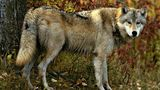В Каменском районе ночью волчица напала на людей, есть пострадавший