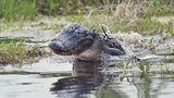 Во Флориде аллигатор покусал сына Виталия Кличко