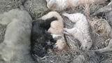 Жители Вулканешт возмущены варварскими методами примара в борьбе с бродячими собаками