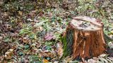 Бельчанина застали за браконьерской вырубкой дубов