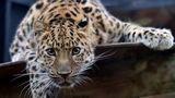 В Кишинёвском зоопарке появился новый обитатель: леопард Эмир