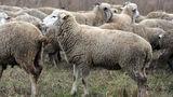 Около 100 овец, украденные в Хынчештском районе, не найдены