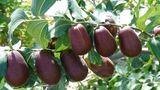 Помимо айвы и груш на столичных рынках предлагают экзотический фрукт зизифус
