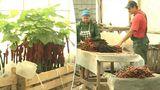 В Молдове внедряют технологию восстановления больных саженцев винограда