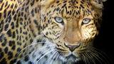 В Индии дикий леопард зашёл в холл гостиницы и попал на видео