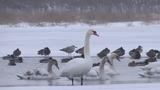 На Украине замерзают белые лебеди