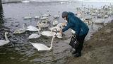 В Рыбницу прилетела большая стая лебедей