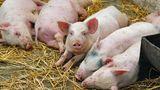 Carnea de porc din dreapta Nistrului, interzisă în Transnistria