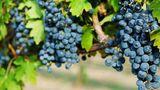 Фермеры отмечают, что урожай винограда в этом году выдался хорошим