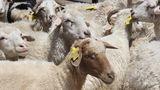 ქართულ ცხვარში უცხო ქვეყნიდან შემოყვანილი ცხვრის შერევა მკაცრად გაკონტროლდება