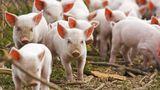 Transnistria interzice importul de porci de pe teritoriul Moldovei