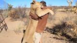 Путешественник снял на видео ласковую львицу