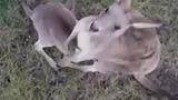 Кенгуру сбила раздражавший ее беспилотник