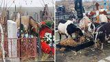 Стадо коз разгуливает на кишиневском кладбище
