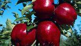 Молдавские производители вынуждены выращивать красные яблоки на экспорт