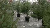 Сколько стоят новогодние елки в столице