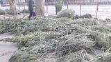 На Буюканах продавцы бросили на улице непроданные елки