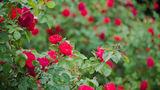 В столичном Дендрарии посадят 3 тысячи роз