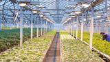 Первые в этом году: в Парканах приступили к сбору урожая огурцов