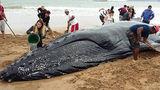 Выбросившегося на берег китенка спасли в Бразилии