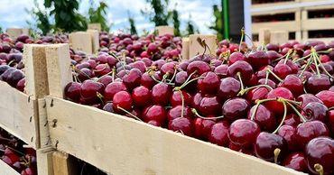 Экспорт черешни и клубники из Молдовы остановился по причине проливных дождей.