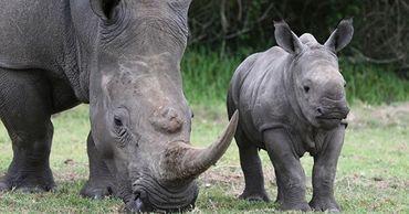 Ученые создали искусственные рога, чтобы защитить носорогов от истребления.