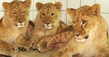 В кишинёвском зоопарке молодые львы вышли из карантина.