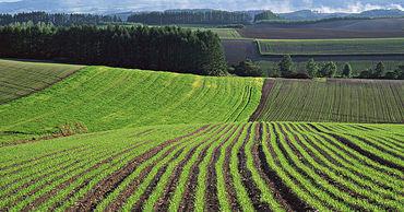 Молдавские поля засевают заграничными семенами: они не устойчивы к жаре.