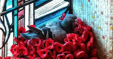 В Австралии голубь свил гнездо из маков с могилы Неизвестного солдата.