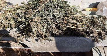 Житель Унгенского района задержан за выращивание конопли.