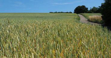 Аграрии ожидают хороший урожай пшеницы: Цена останется прошлогодней
