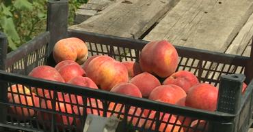 В прошлом году садовод собрал урожай на 25 тонн, а этом будет в 20 раз меньше.