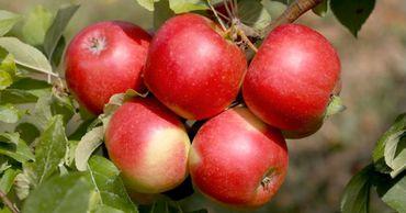 Молдавские садоводы отмечают значительное увеличение спроса на яблоки. Фото: east-fruit.com.