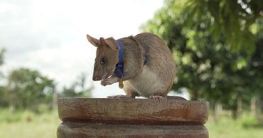 Крыса получила высшую награду Великобритании за обнаружение мин.