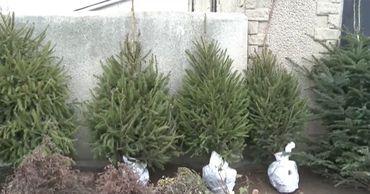 """Ранее на этой неделе агентство """"Moldsilva"""" выставило в продажу более 50 тысяч елок."""