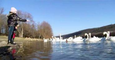 На севере республики на Днестре образовалась целая колония лебедей.