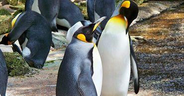 Ученые выяснили, что пингвины заняли место динозавров.