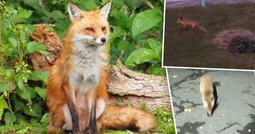 По Тирасполю гуляют лисы. Фото: Point.md