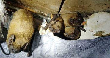 В Киеве в квартиру залетели 120 летучих мышей.