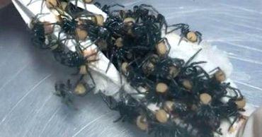 Рождение сотни смертоносных пауков попало на видео.