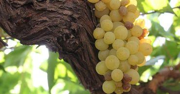 В Молдове растут темпы экспорта и цены на столовый виноград. Фото: east-fruit.com.
