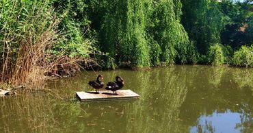На озере в Тирасполе поселились лебеди.