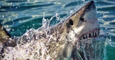 Руку пропавшего туриста нашли в желудке акулы.