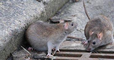В Великобритании грызуны не растерялись и стали пробираться в дома и квартиры людей.