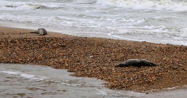 Больше 150 мертвых тюленей нашли на побережье Каспийского моря
