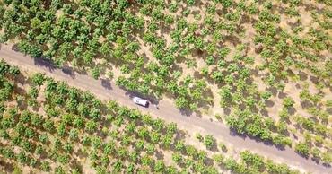 В районе Леова высадили плантации самого быстрорастущего дерева в мире.